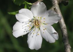 Prunus dulcis 19