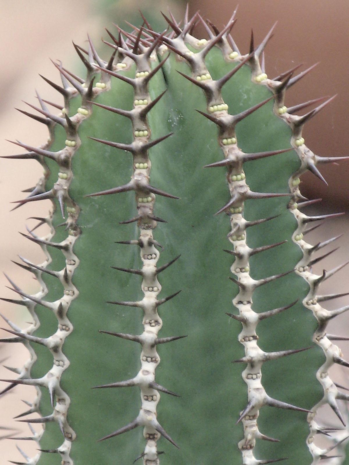 Euphorbia avasmontana 11