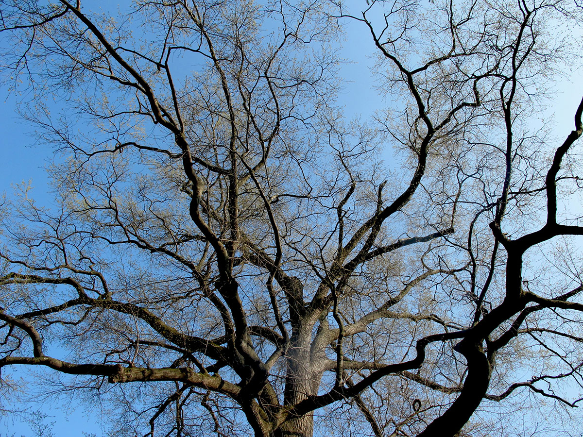 Quercus phellos 3