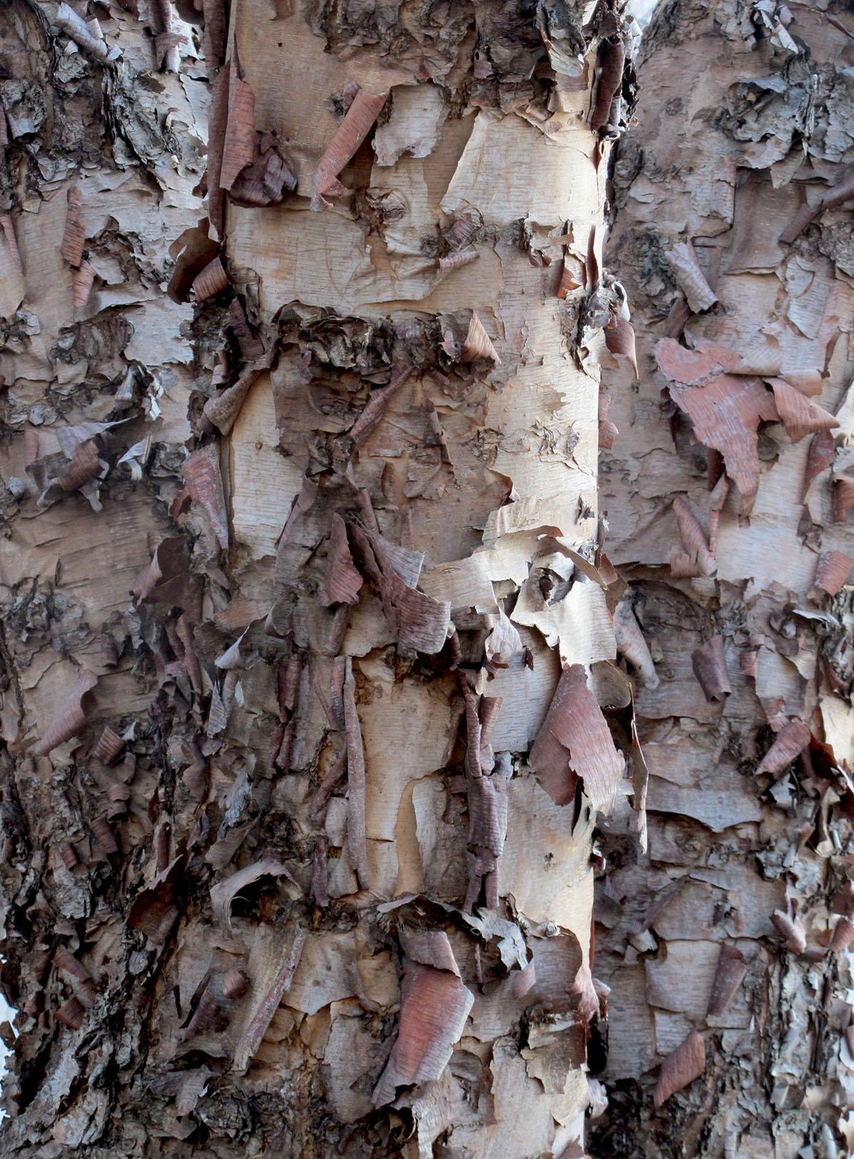 Betula nigra 8