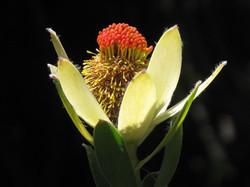 Leucadendron discolor 11