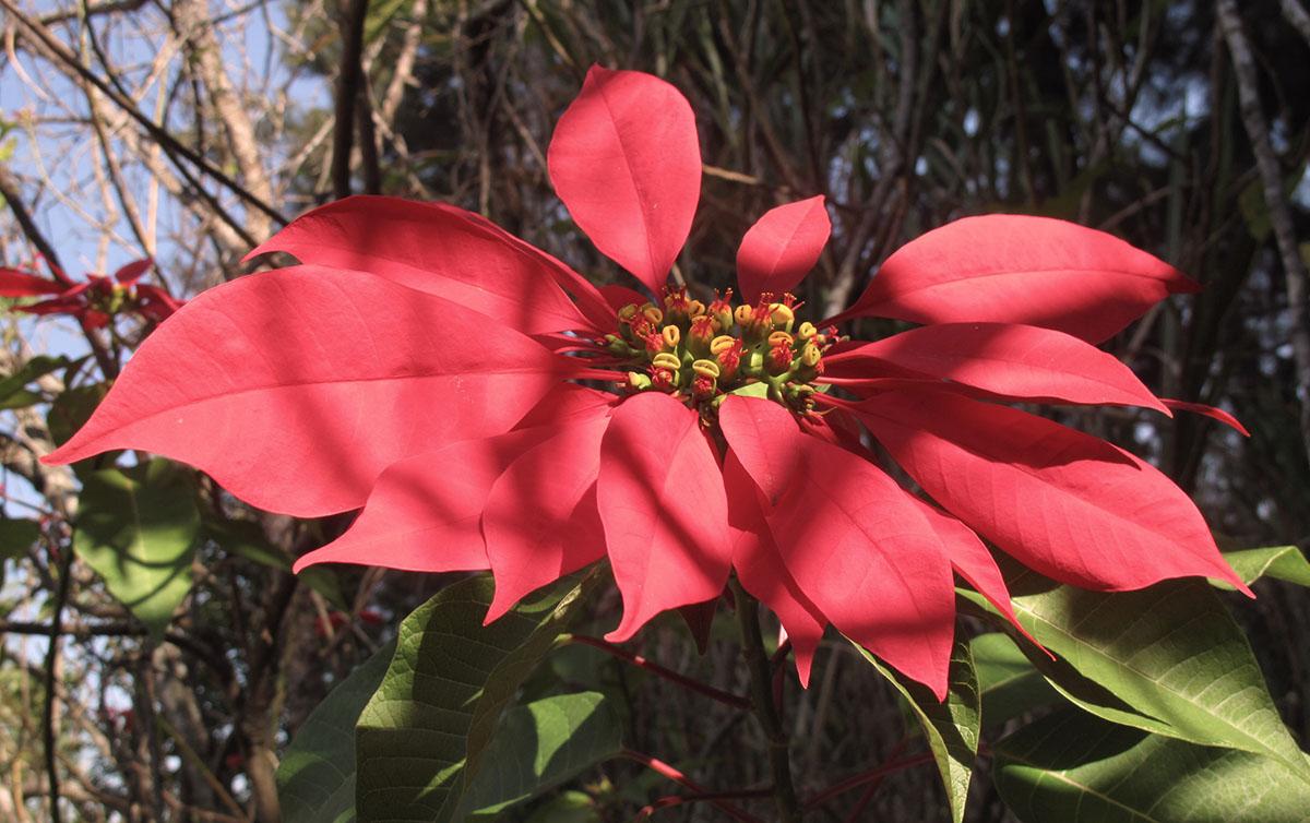 Euphorbia pulcherrima 23