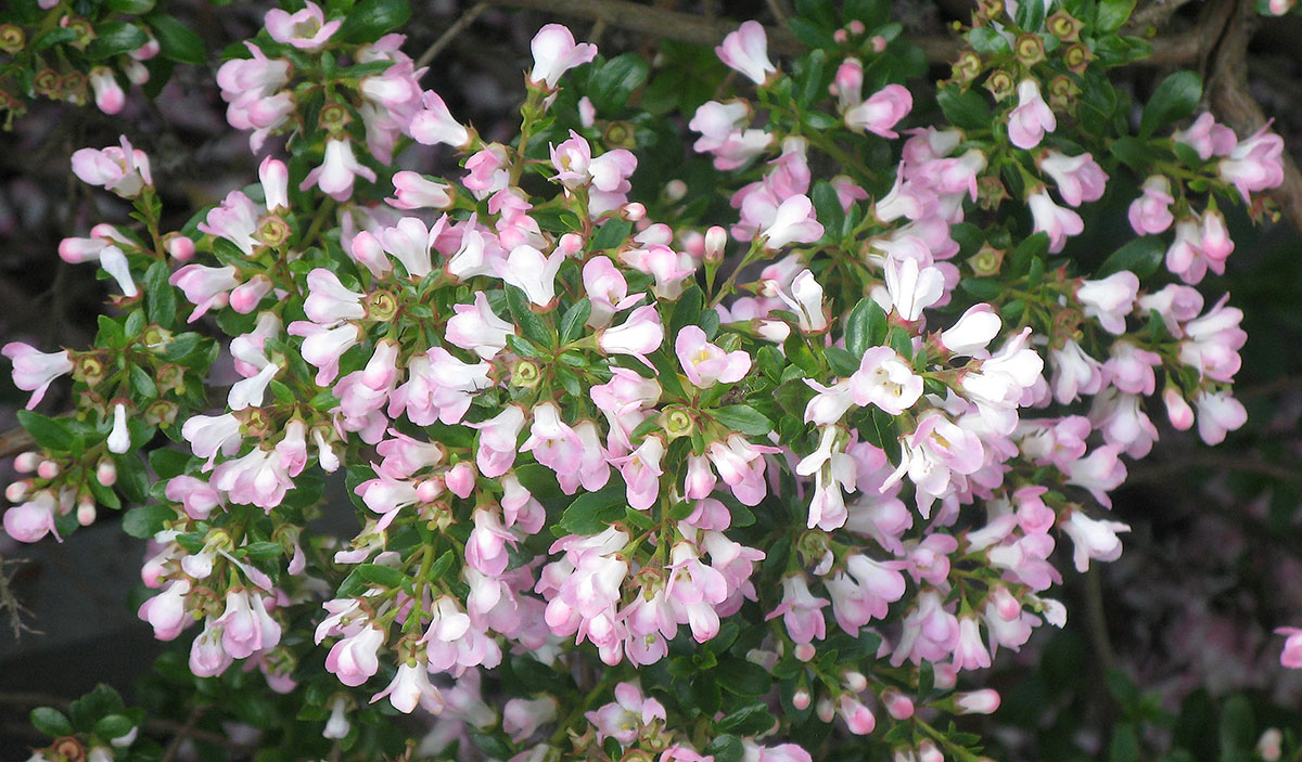 Escallonia 'Apple Blossom' 2