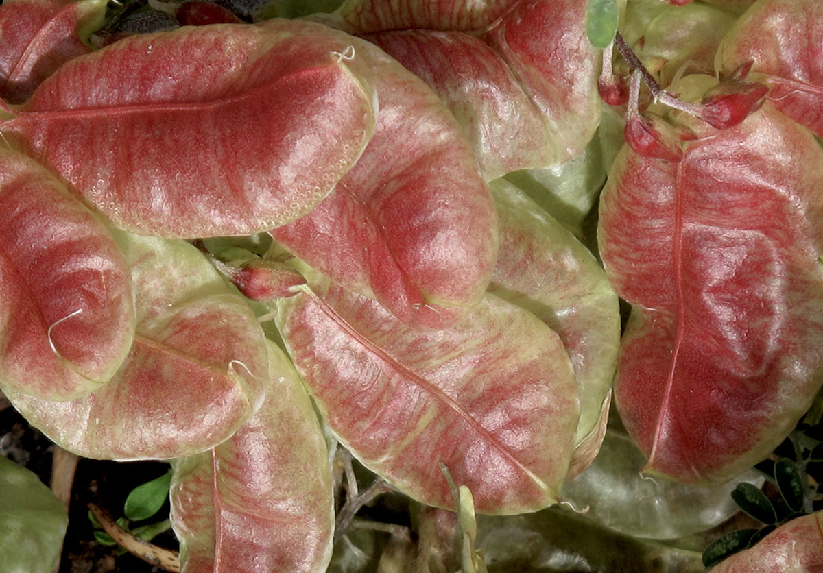 Sutherlandia frutescens 39