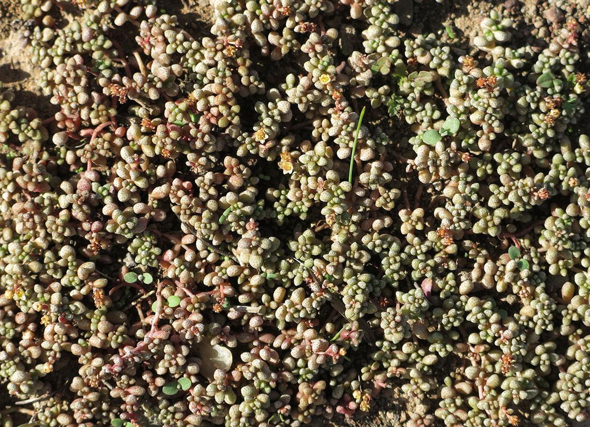 Crassula corallina 3