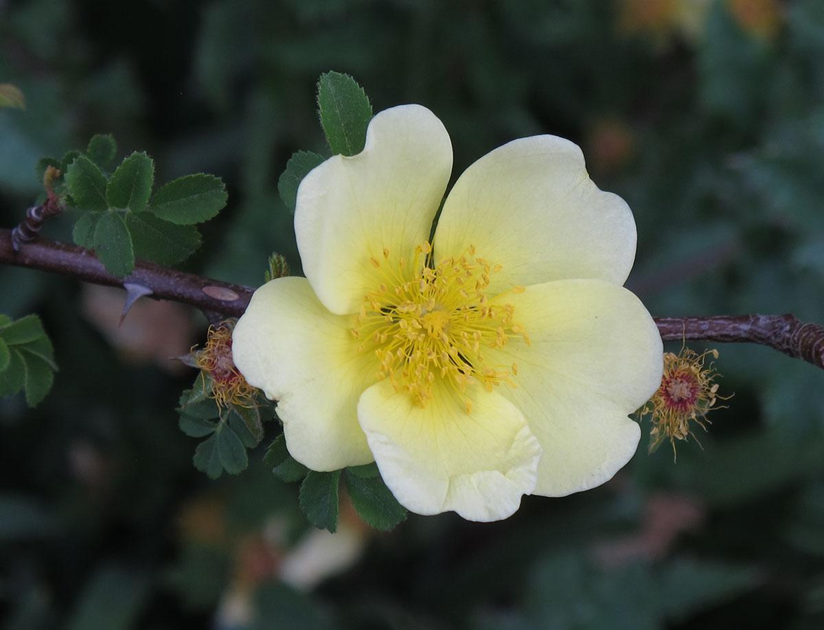 Rosa Canary bird 1