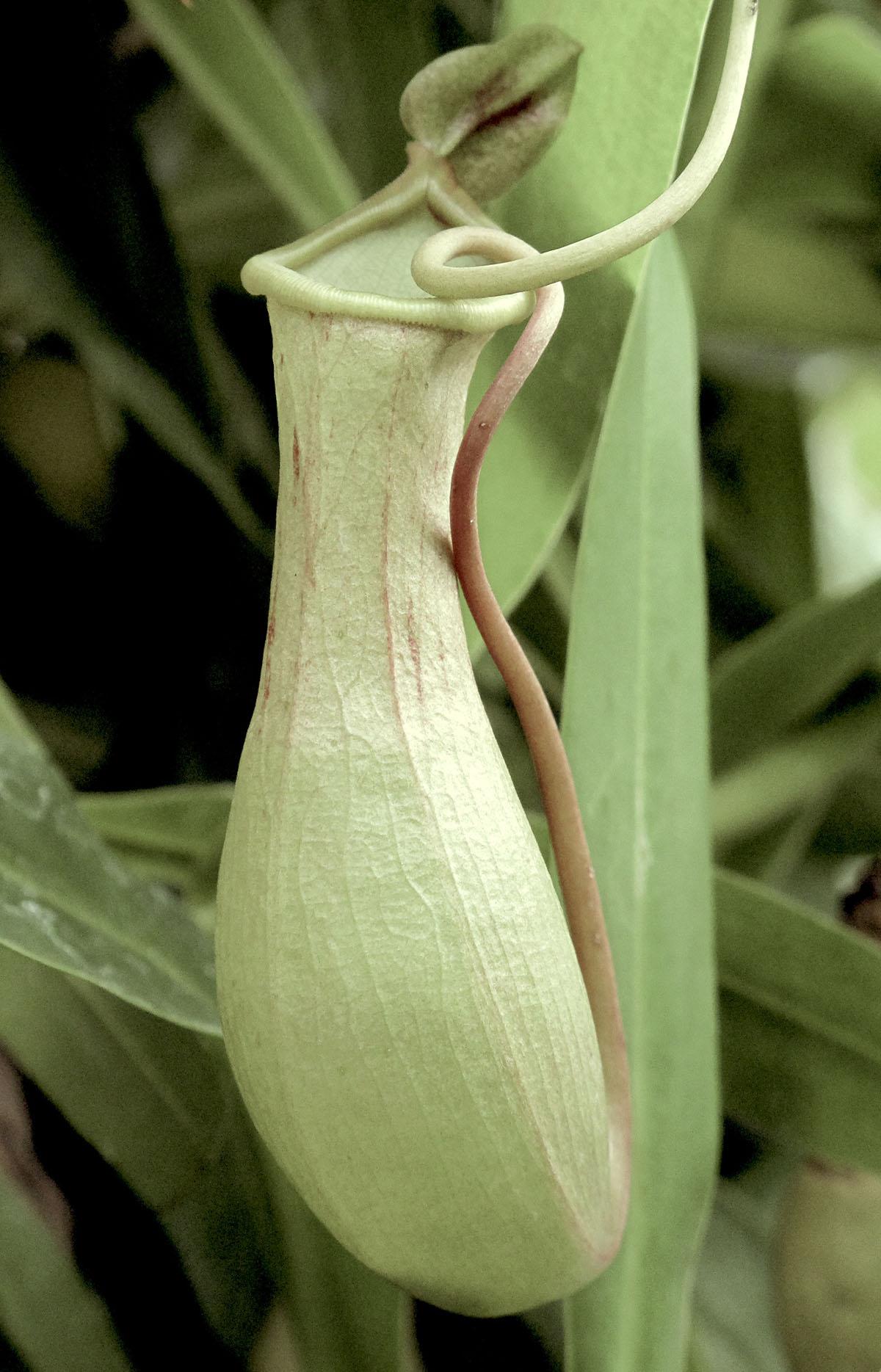 Nepenthes maxima ventricosa 16