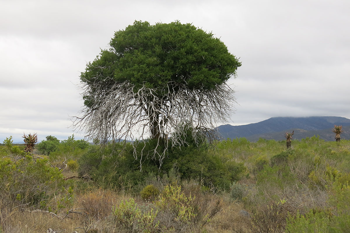 Boscia oleoides 3