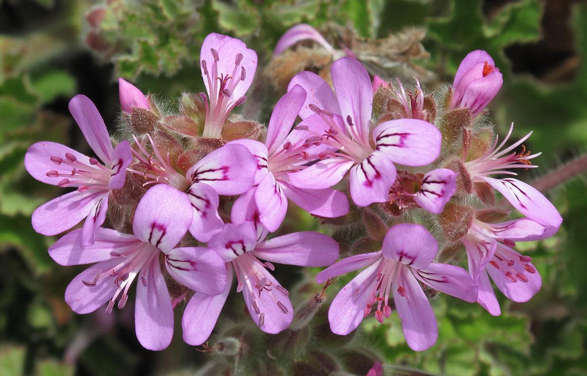 Pelargonium capitatum 27