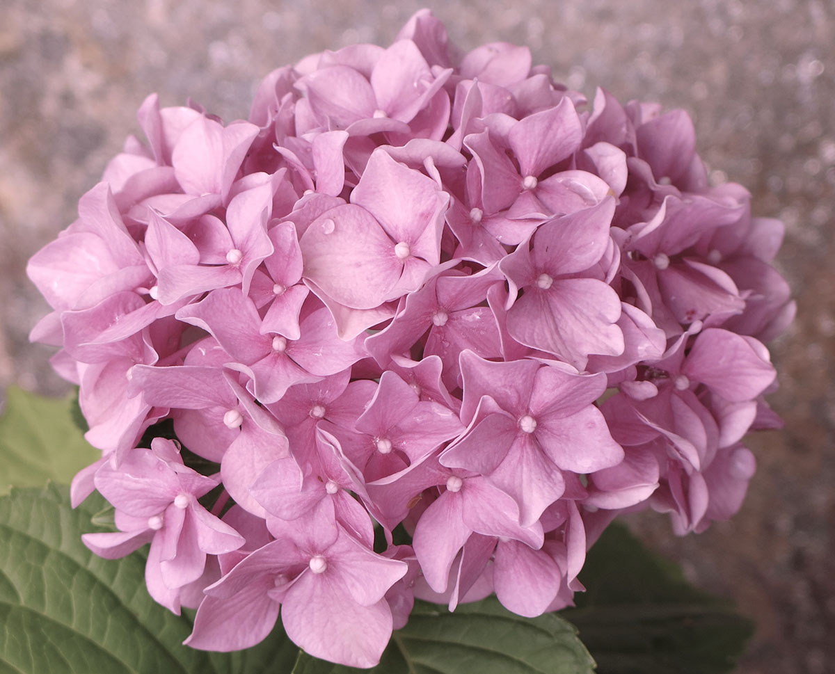 Hydrangea macrophylla Dooley 2