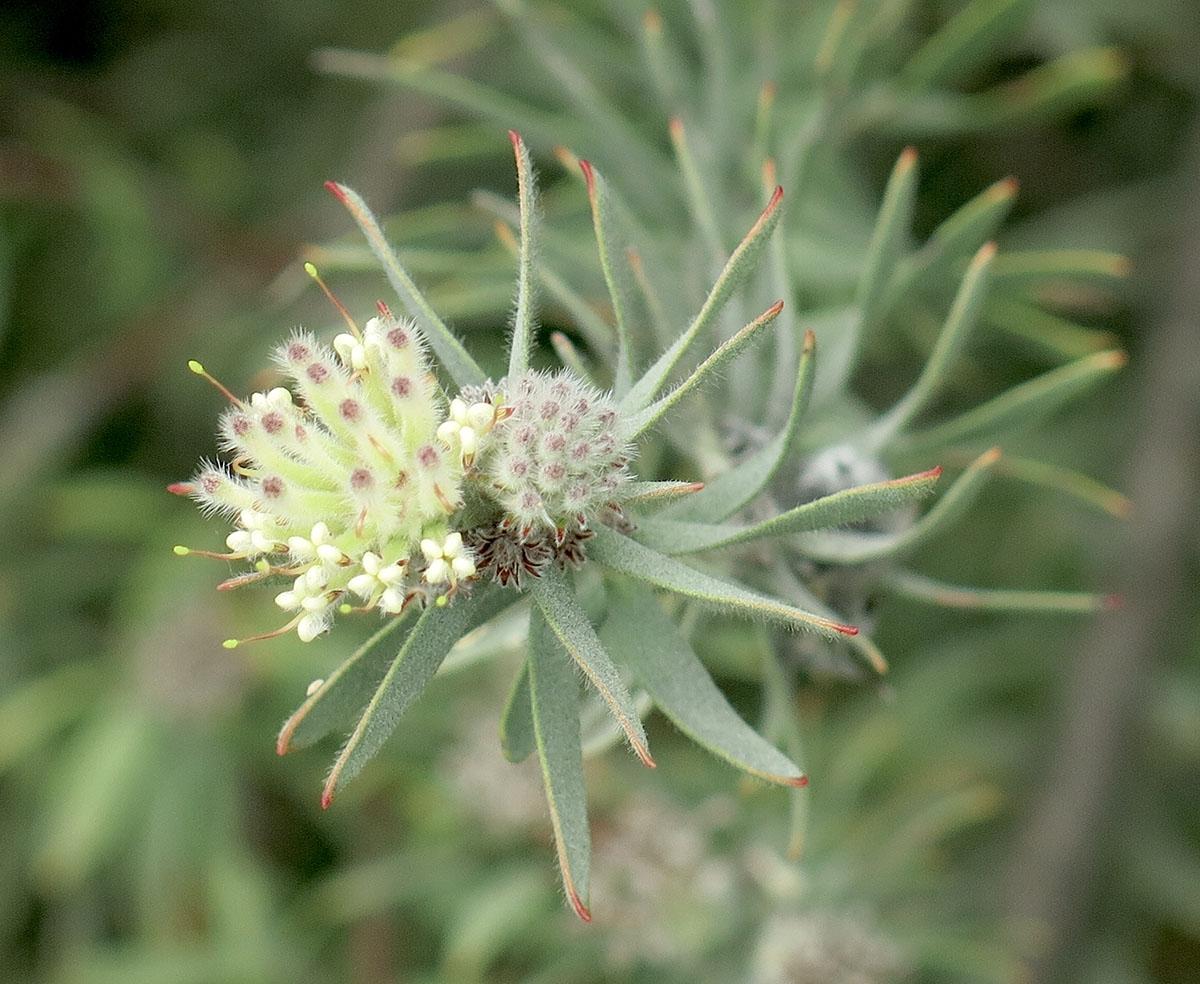 Leucospermum wittebergensis 4