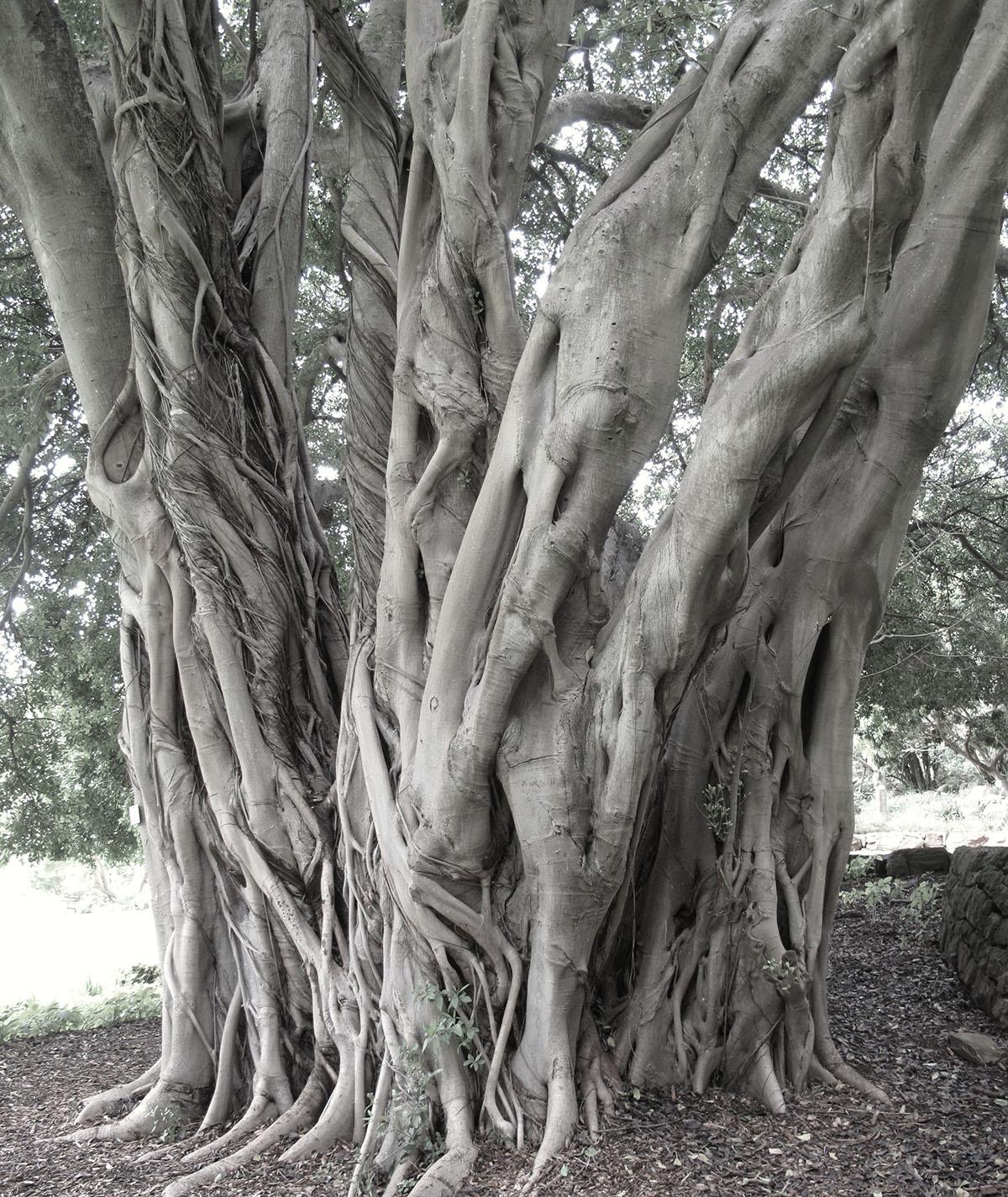 Ficus craterostoma 3