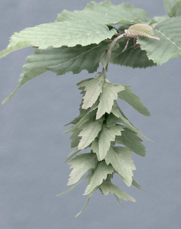 Carpinus betulus 48