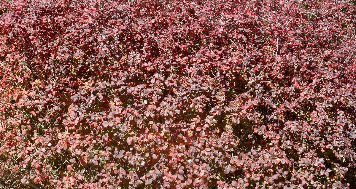 Berberis thunbergii artopurpurea 10