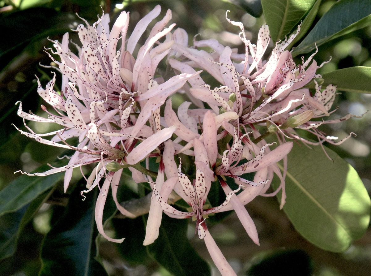 Calodenrum capense 69
