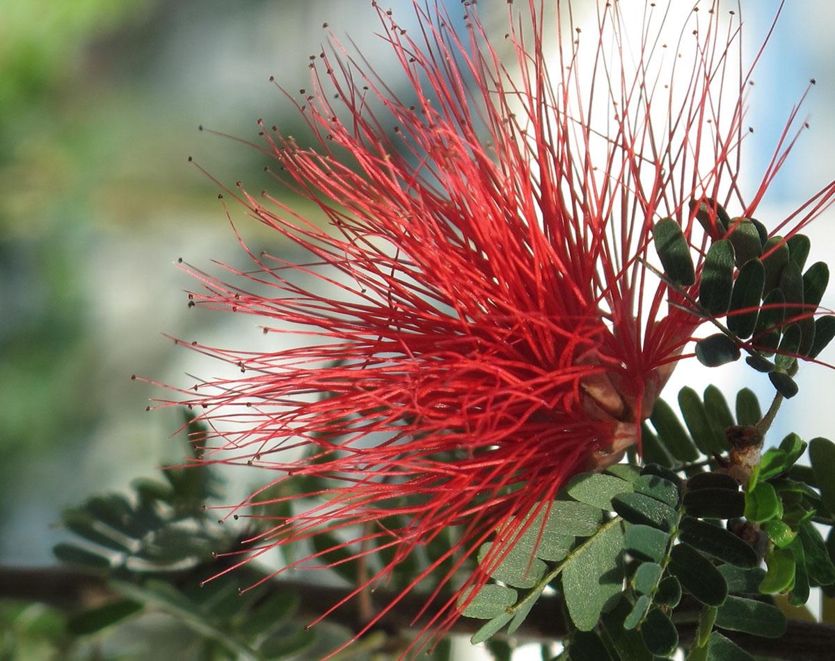 Calliandra callifornica 13