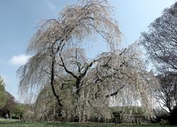 Prunus X subhirtella Shidare Higan 14