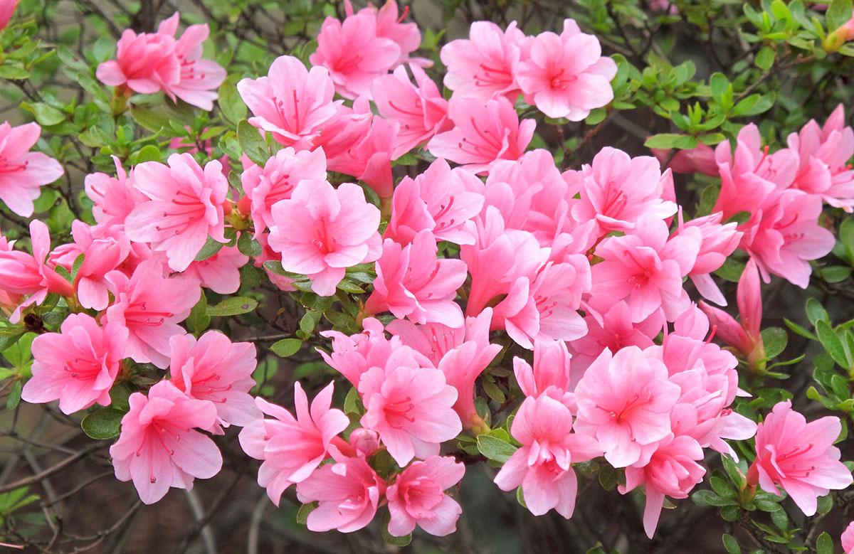 Rhododendron Azalea 1