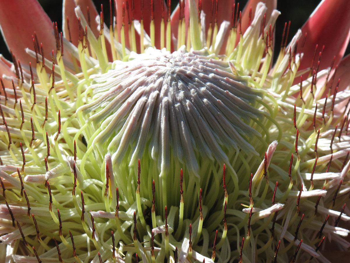 Protea cynaroides 24