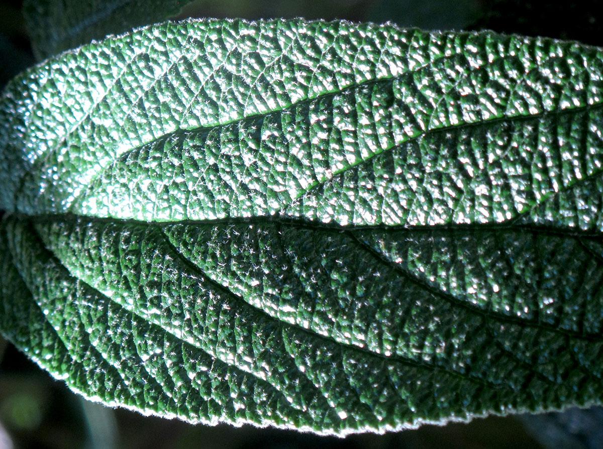 Viburnum X rhytidophylloides Green Trump 5