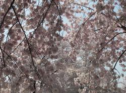 Prunus Yoshino Cherry 29