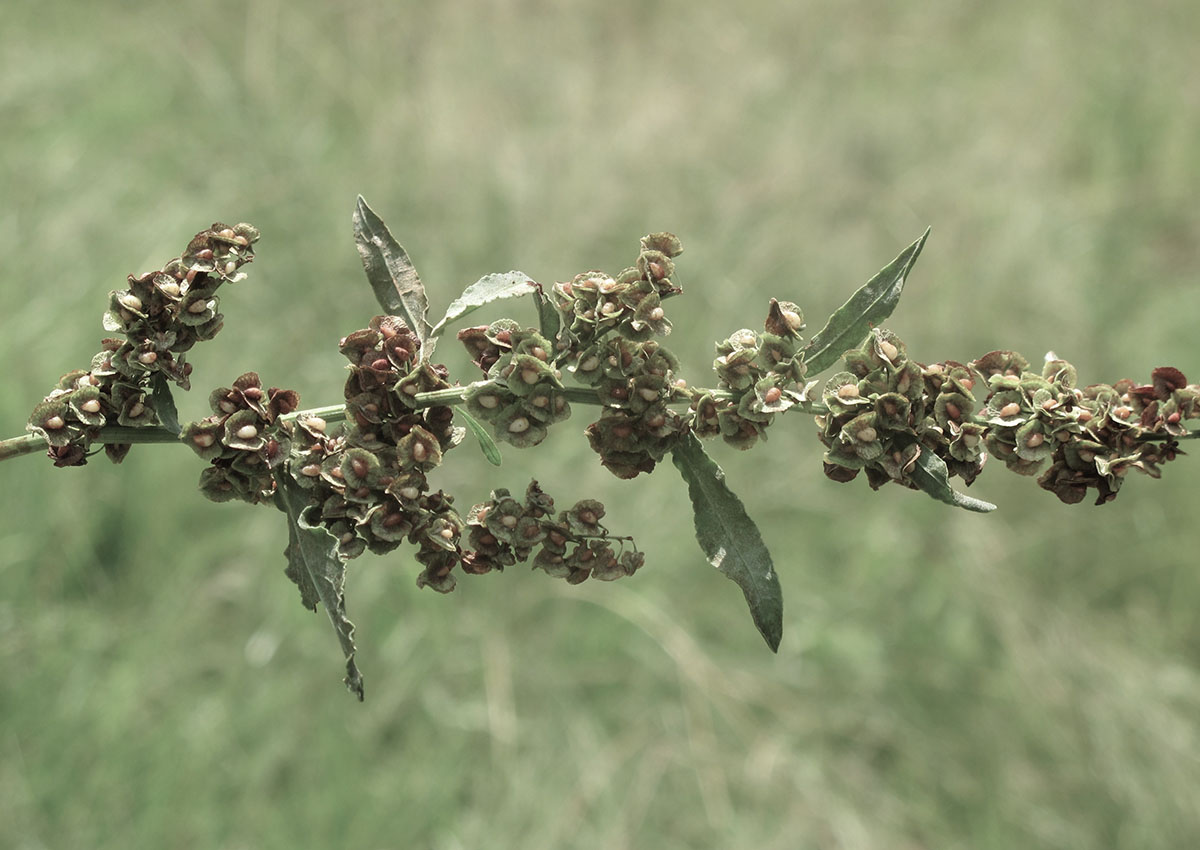 Rumex lanceolatus 9