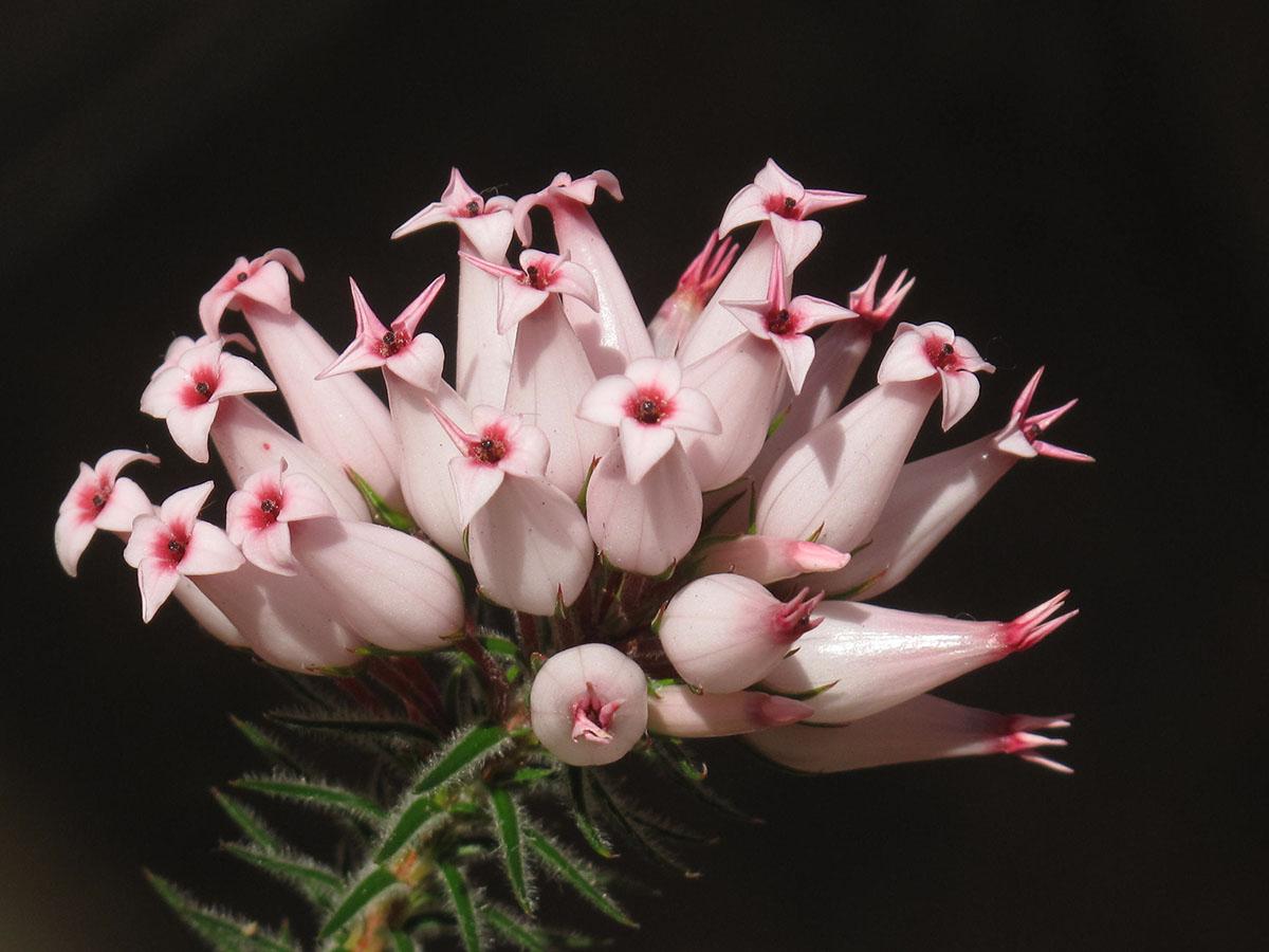 Erica ventricosa 5
