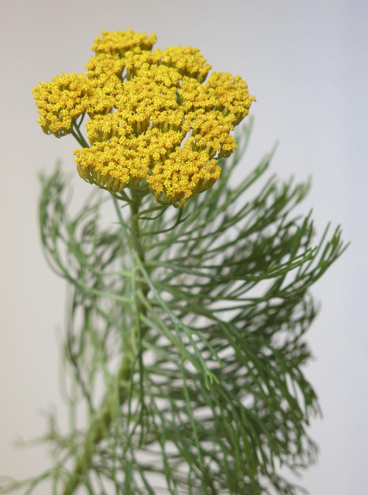 Hymenolepis parviflora 34