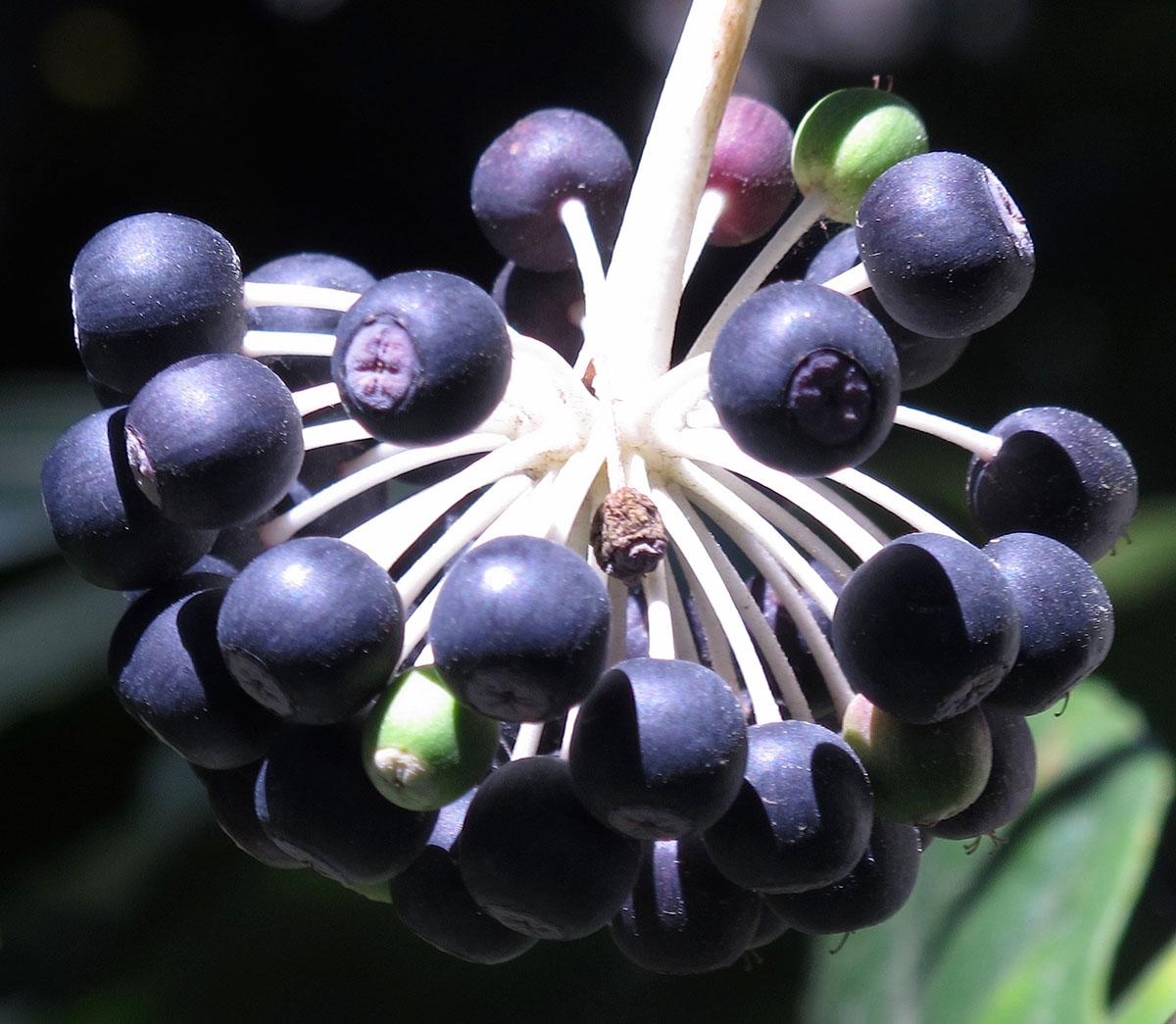 Fatsia japonica 16