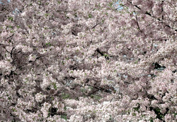Prunus Yoshino Cherry 8