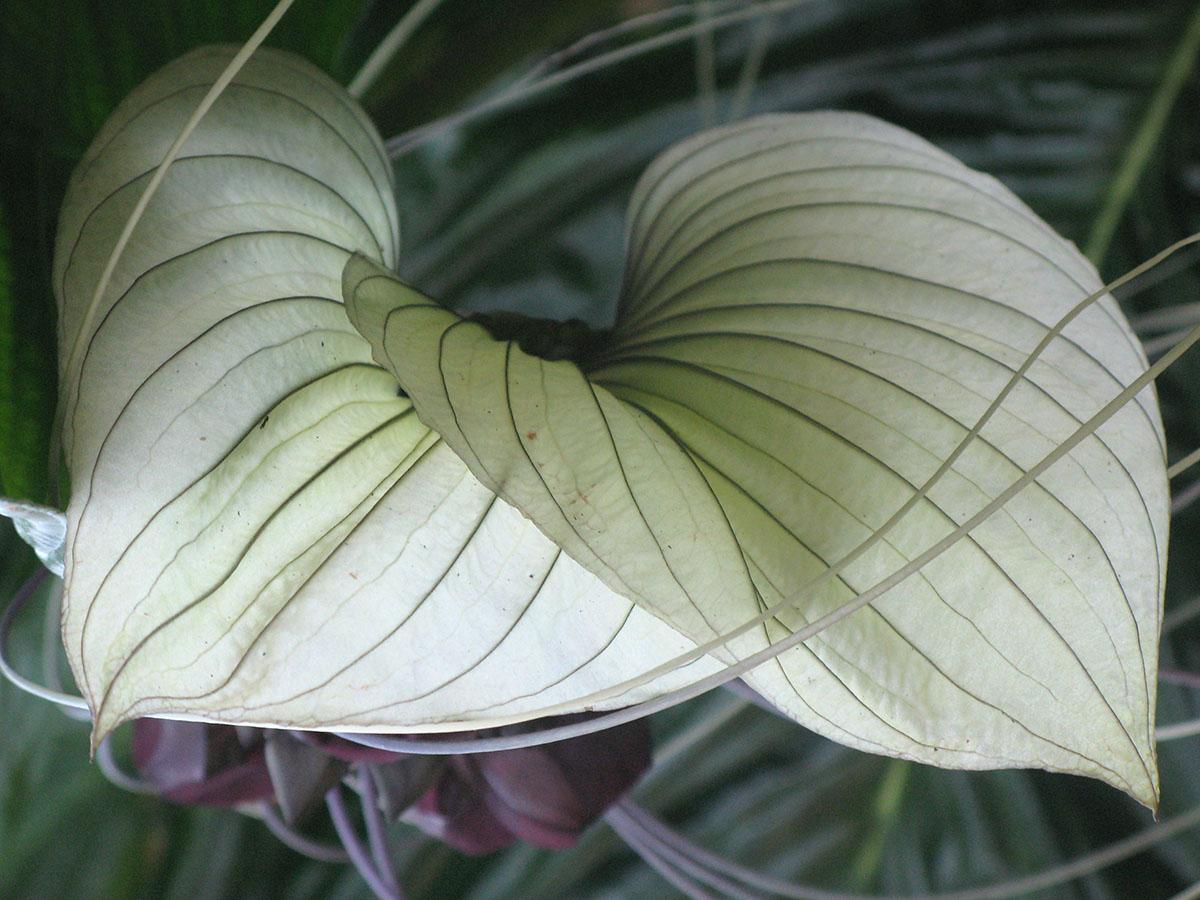 Tacca integrifolia 15