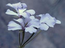 Pelargonium peltatum 29