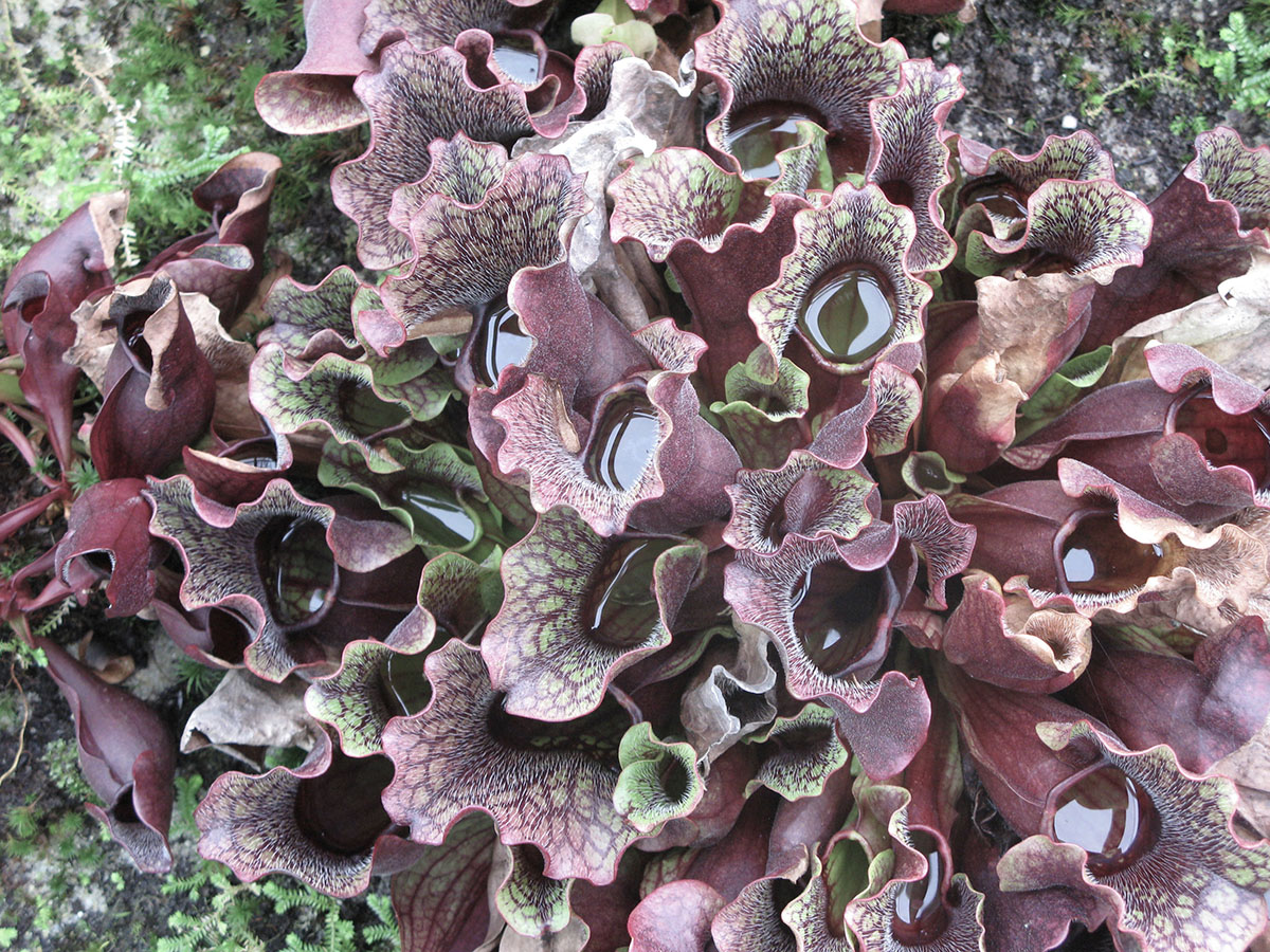 Sarracenia purpurea 2