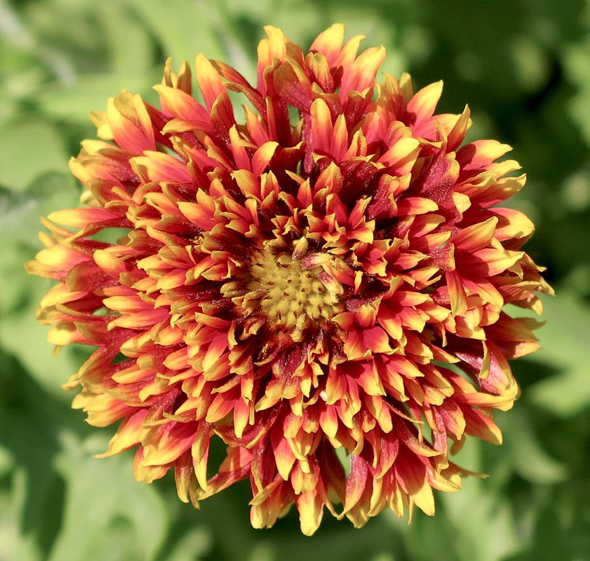 Gaillardia pulchella Sundance Bicolor 2