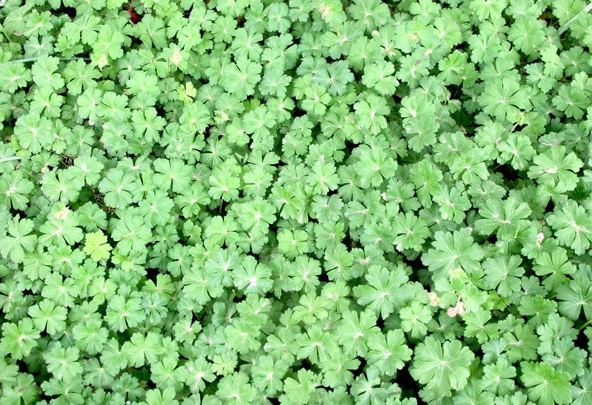 Geranium sanguineum St. Olga 7