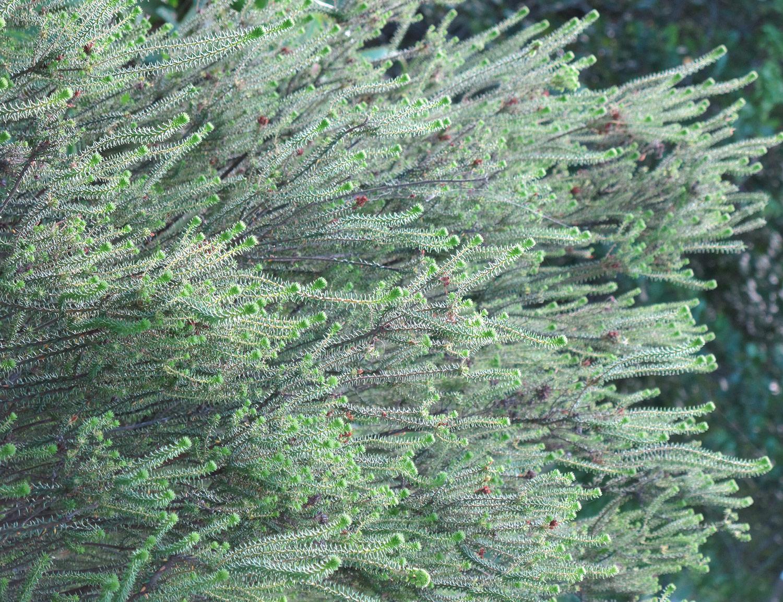 Agathosma-apiculata-2-