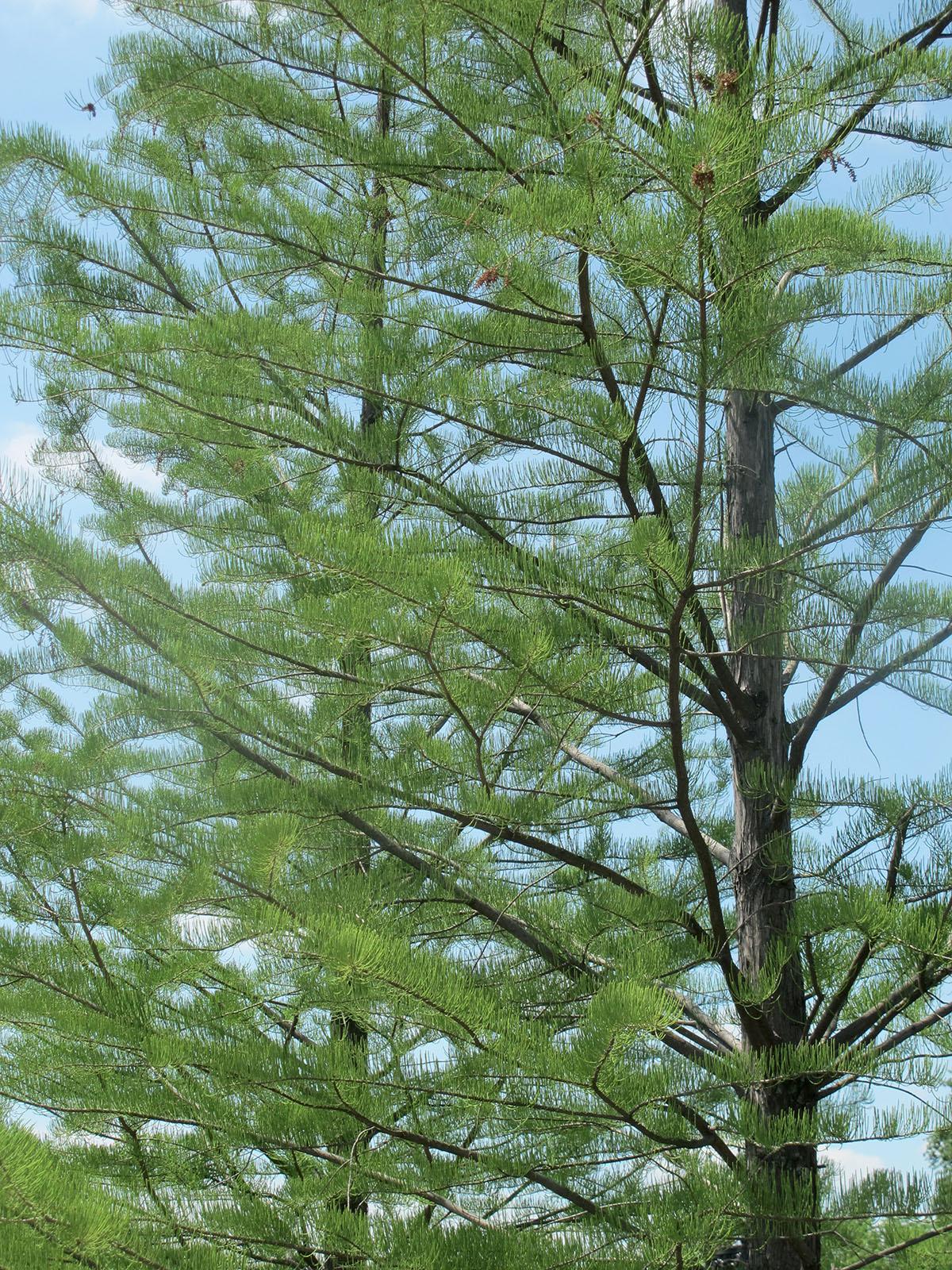 Taxodium ascendens 21