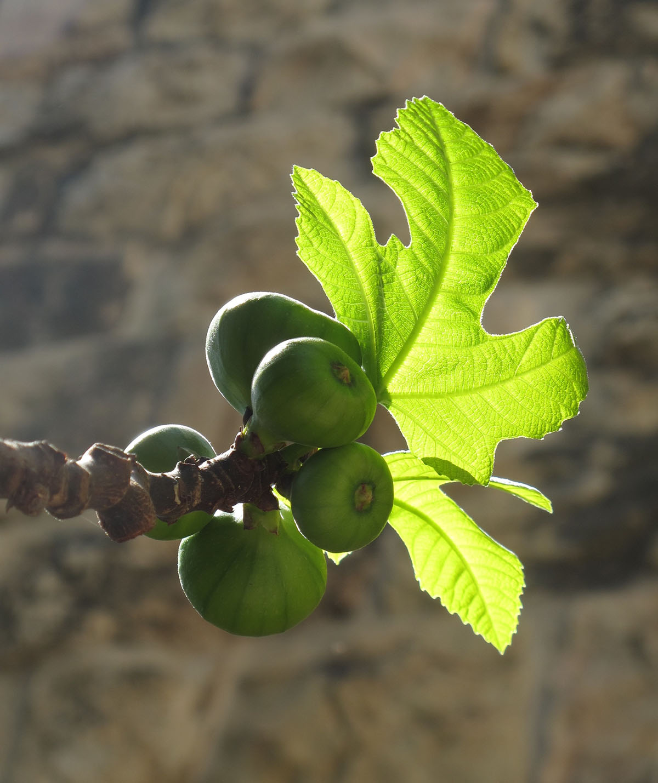 Ficus carica 36