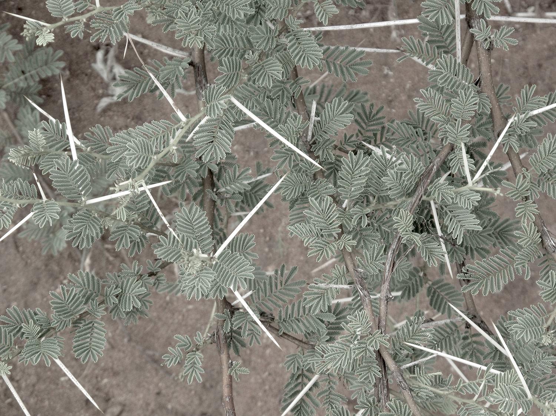Acacia-tortillis-heteracantha-27-
