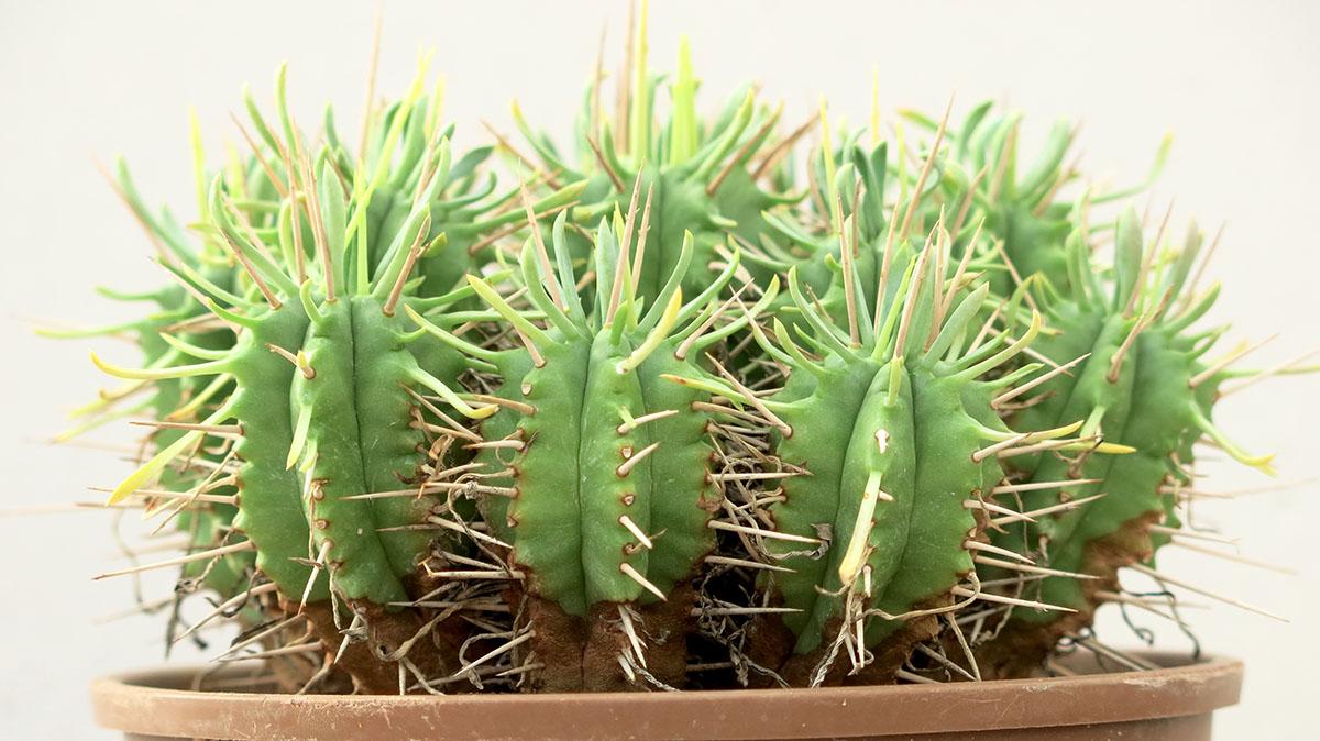 Euphorbia pulvinata 29