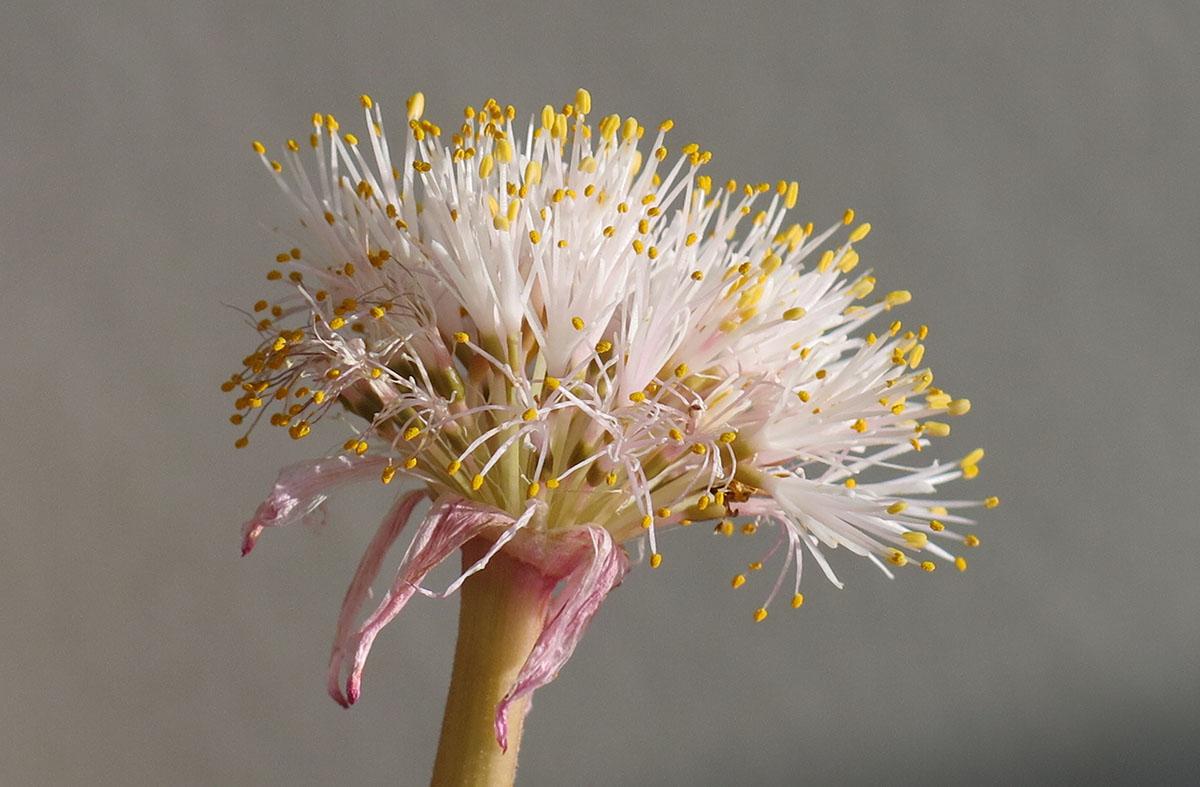 Haemanthus amarylloides polyanthus 22