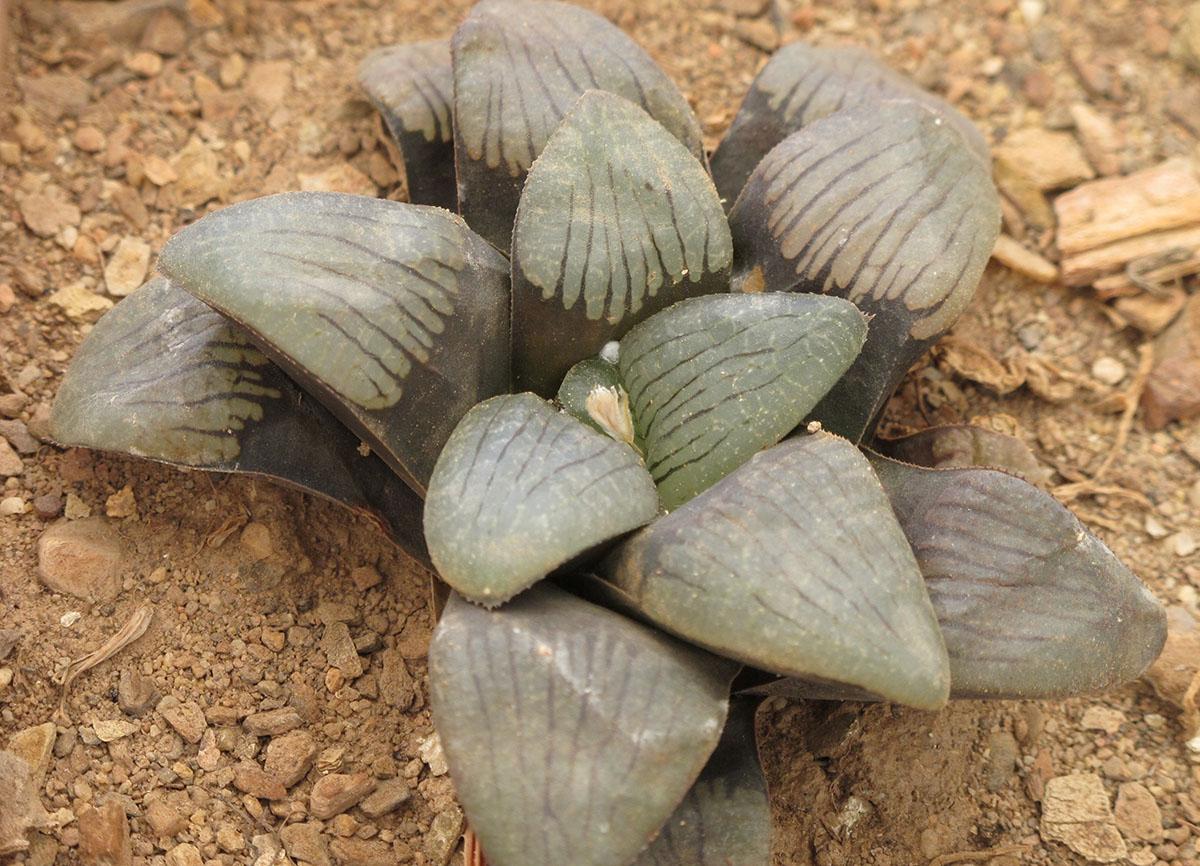 Haworthia springbokvlakensis 2
