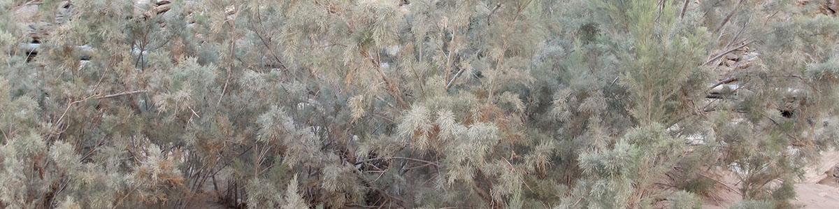 Tamarix usneoides 42