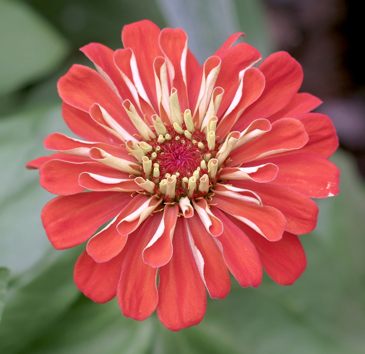 Zinnia Giants of California 2