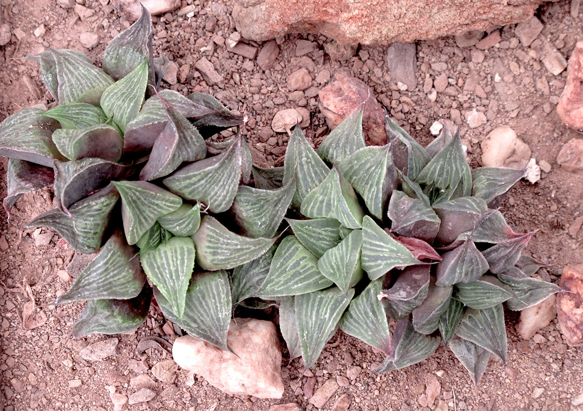 Haworthia retusa 2
