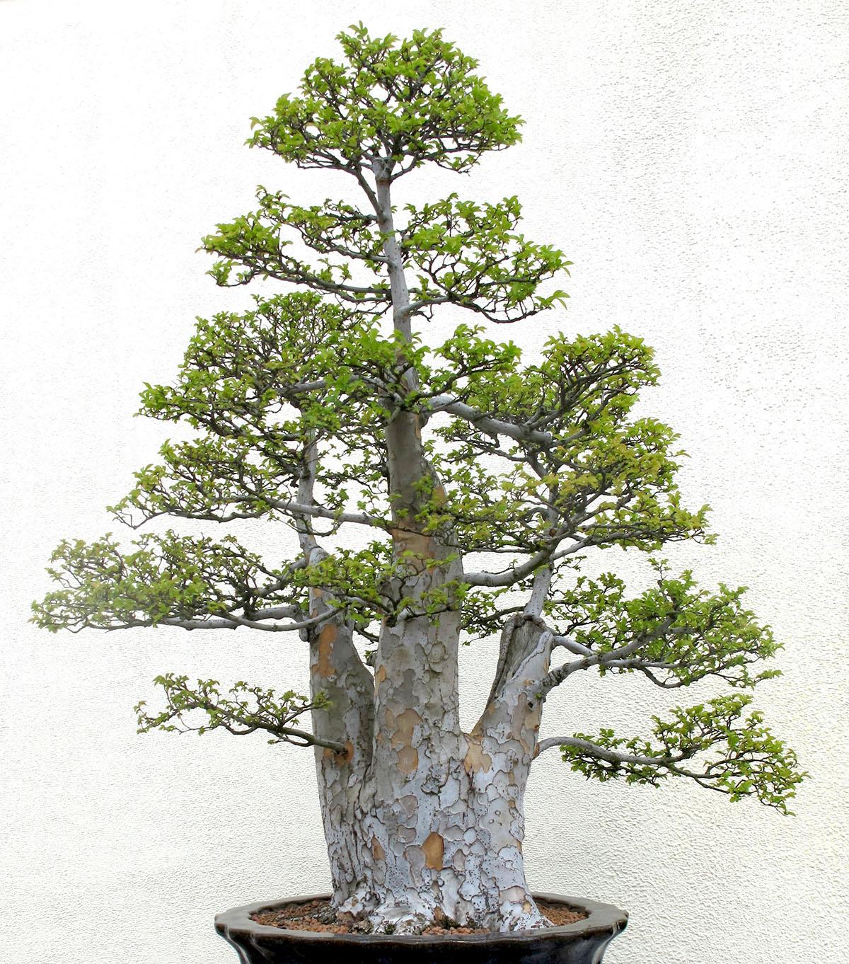 Ulmus parvifolia 20 1