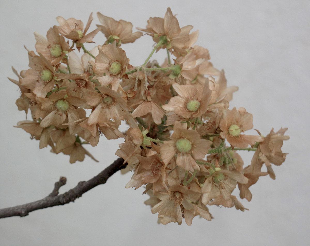 Dombeya rotundifolia 79