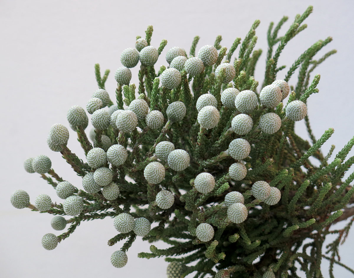 Brunia nodiflora 12