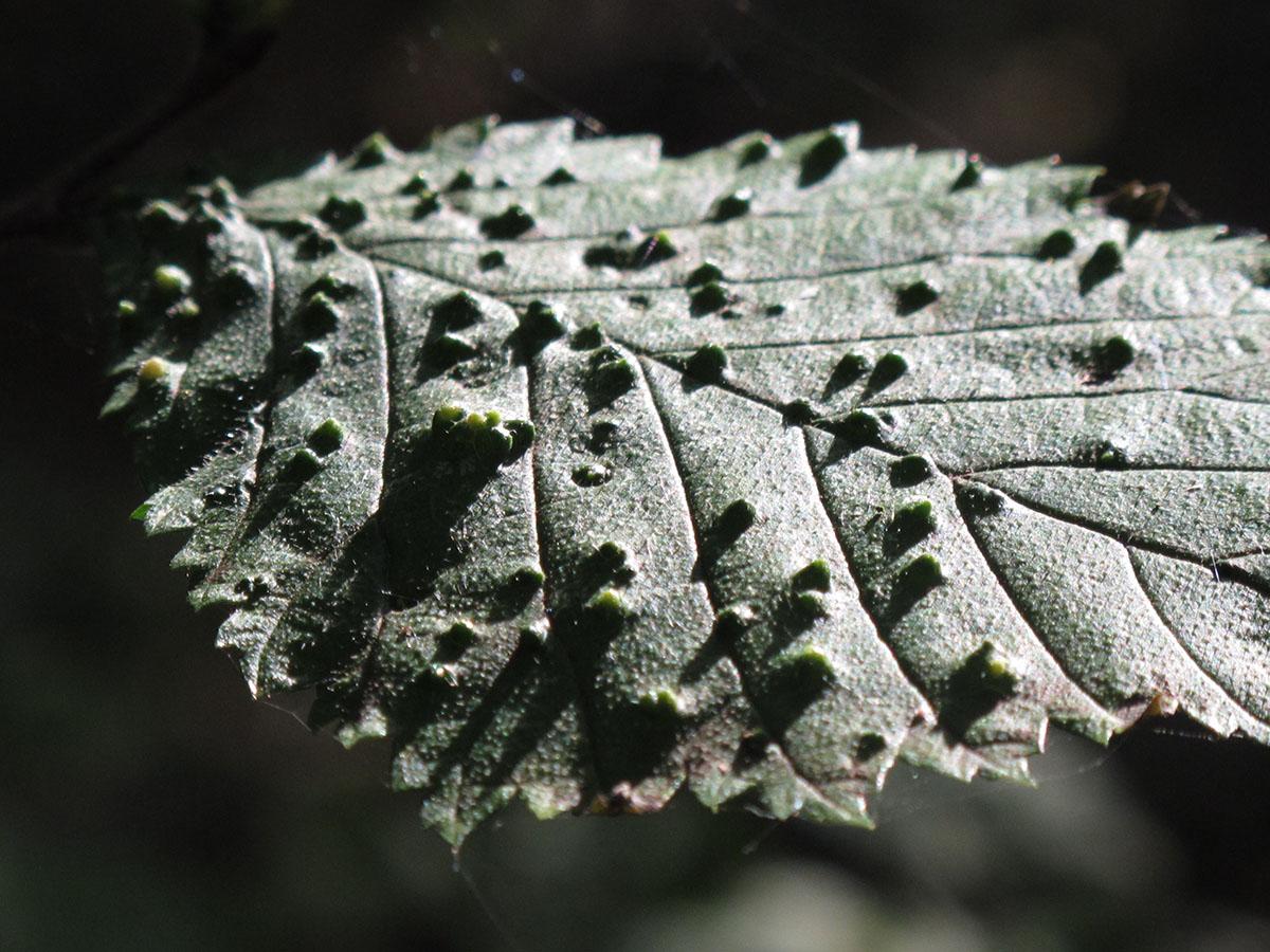 Fagus sylvatica 66