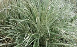 Puya chilensis 21
